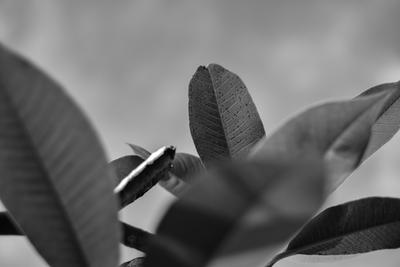 Folhas - preto & branco