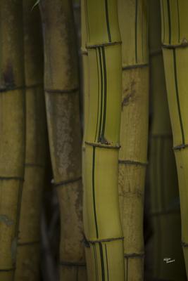 Bambu que canta