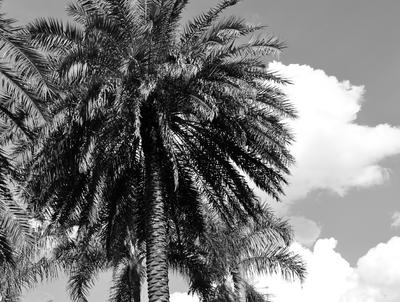 Palmeira única