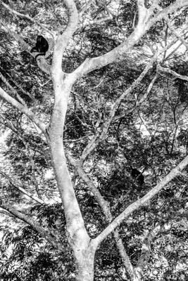 Macacos na árvore - Escondidos