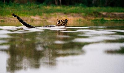 Onça pintada nadando