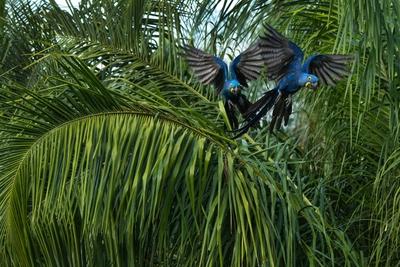 Araras azuis grandes no Pantanal