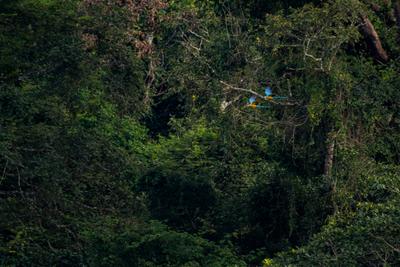 Araras na Imensidão Verde Amazônica