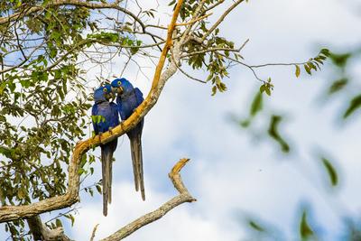 Araras Azuis no Pantanal